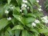 Baerlauch-Allium ursinum