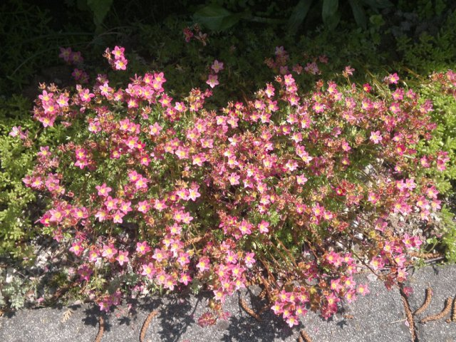 Steinbrech Saxifraga hypnoides